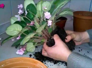 Menekse Çiçeği Toprak Değişimi Yapılışı