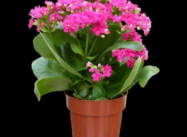 çiçek Bakımında Uygun Saksı Seçimi Nasıl Olur Canım Anne