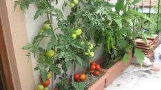 Balkonda Sebze Nasıl Yetiştirilir ? Püf Noktaları