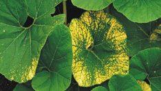 Bitkilerdeki Besin Eksikliği Belirtileri
