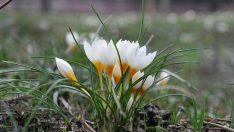 Çiğdem Bitkisinin Yetiştirilmesi ve Bakımı