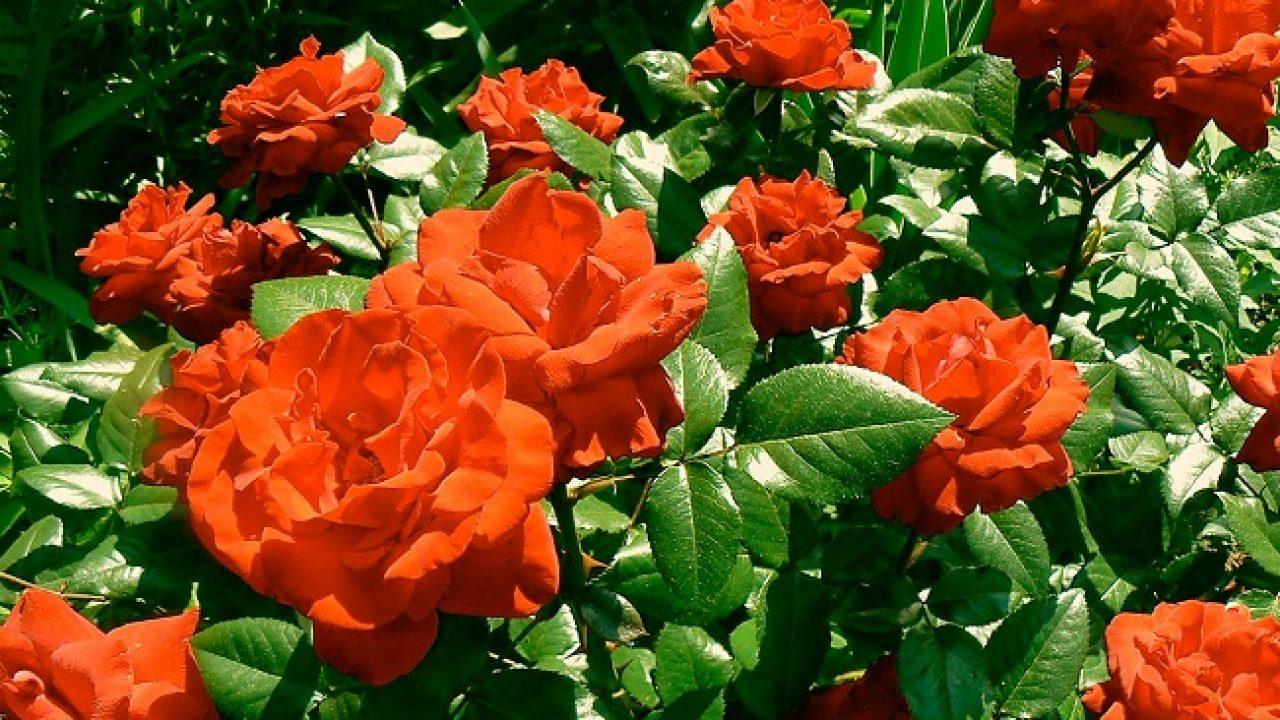 Gül Bitkisi Bakımı – Yetiştirilmesi – Sulaması – Çoğaltılması