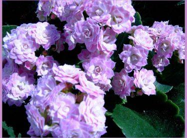 Kalanşo Bitkisinin Yetiştirilmesi ve Bakımı