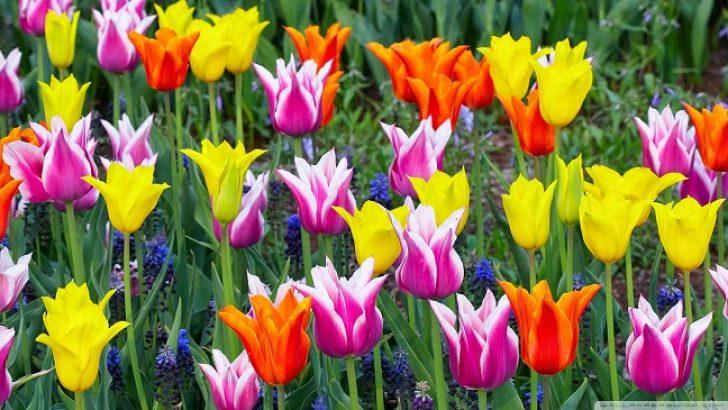 Lale Bitkisi Yetiştirilmesi ve Bakımı