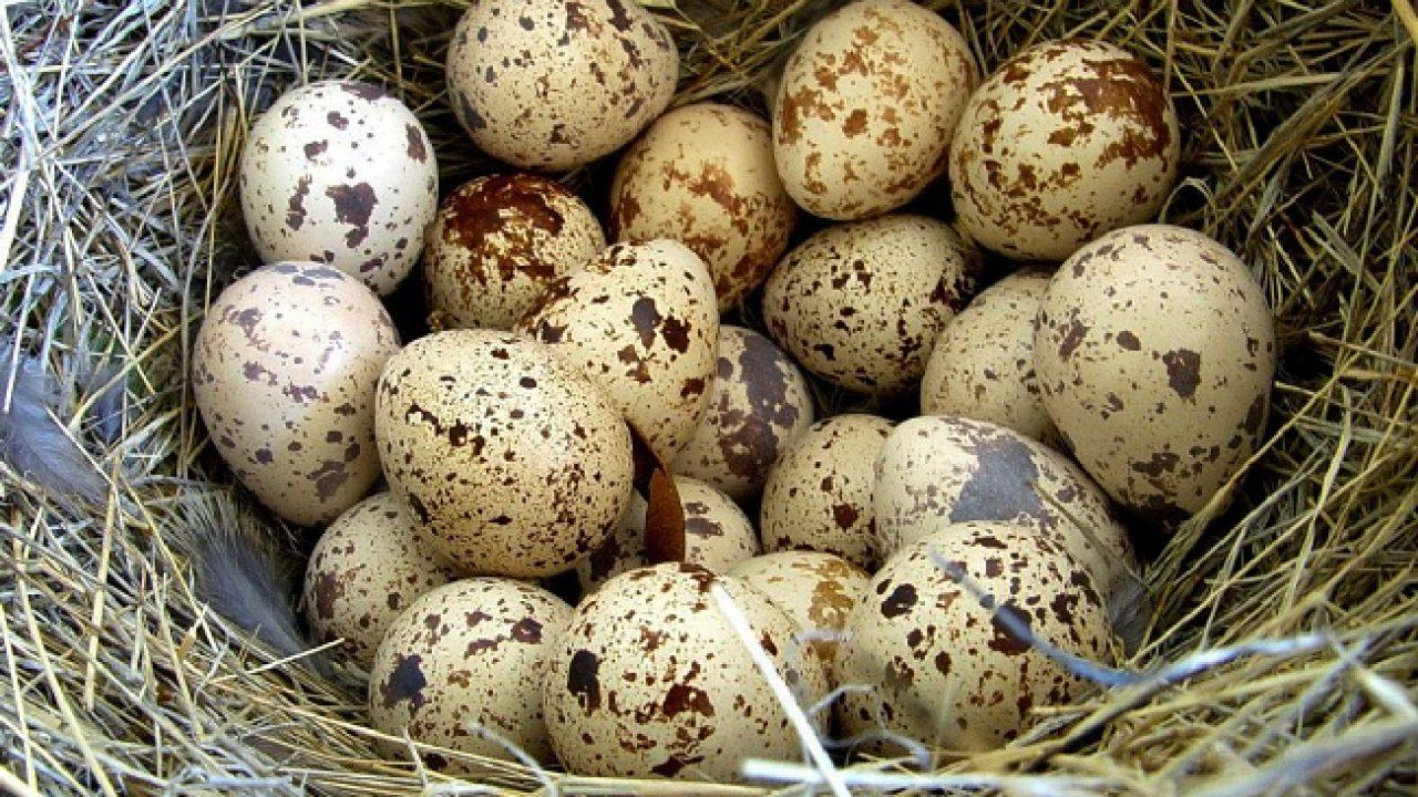 Bıldırcın Yumurtasının Bilinmeyen 16 Faydası