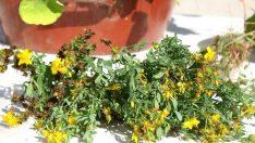 Sarı Kantaron Çayının 11 Faydası