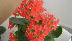 Çiçekleri Canlandırmak için Ne Yapmalı?