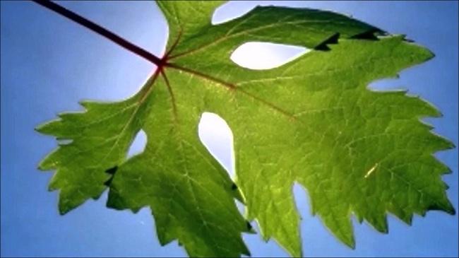 asma-yapragi-faydalari-nelerdir