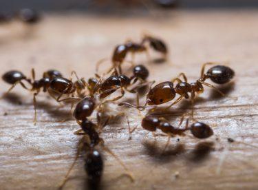 Karıncaları Öldürmeden Evden Uzaklaştırma Yöntemleri