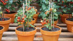 Tohumdan Fideye Kadar Evde Domates Nasıl Yetiştirilir?