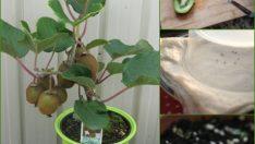 Evde Kivi Tohumu ile Kivi Yetiştirme Püf Noktaları