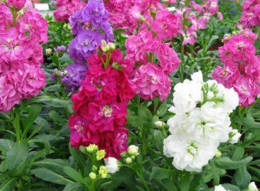 Şebboy Çiçeği, Bakımı, Faydaları, Özellikleri, Ne zaman ekilir