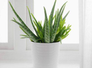 Aloe Veranın Faydaları Nelerdir ?