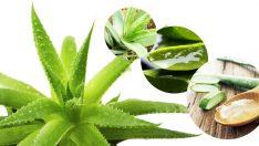 Aloe Veranın Cilde Faydaları Nelerdir?