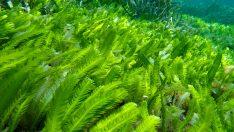 Deniz Yosunu Özü – Deniz Yosunu Özü Faydaları