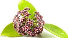 Mum Çiçeği Bitkisi Nasıl Çoğaltılır?