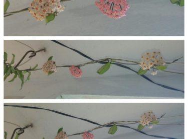 Mum Çiçeği Açma Zamanı