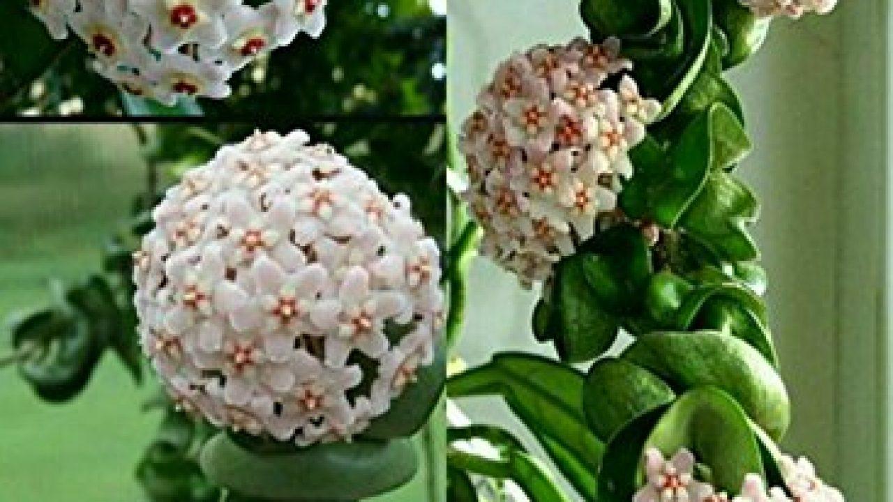 Mum Çiçeği Ne Zaman Çiçek Açar ?