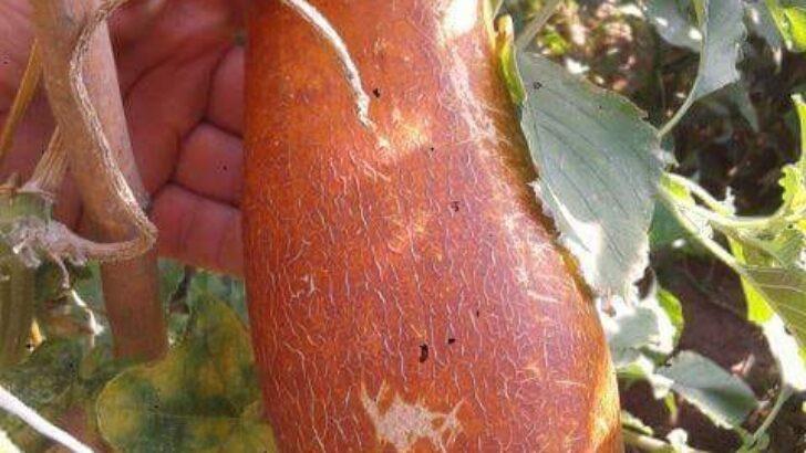 Salatalık Tohumları Nasıl Ayrılır ?
