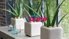 Evde Aloe Vera Bitkisi Yetiştirme