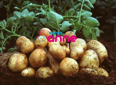 Patates Yetiştiriciliği Nasıl Yapılır?