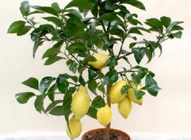 Limon çekirdeği çimlendirme ve filizlendirme nasıl yapılır