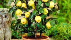 Saksıda Elma Ağacı Yetiştirme
