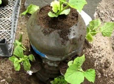 Damacanada Salatalık Nasıl Yetiştirilir