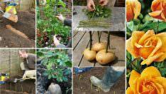 Patateste Gül Çimlendirme Yöntemi