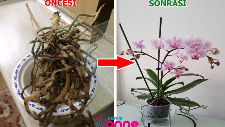Orkideyi Tekrar Canlandırmanın Yolları