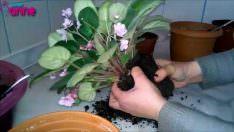 Çiçeklerde Saksı ve Toprak Değişimi Ne Zaman ve Nasıl Yapılır?