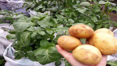 1 Kilo Patates İle 1 Çuval Patates Yetiştirme
