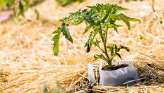 Domates Fidesi Dikimi Ve Büyümeyi Hızlandırma