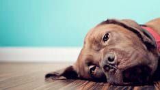 Köpeklerde Epilepsi Nöbeti Nasıl Olur?