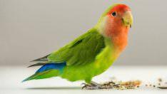 Muhabbet Kuşu Nasıl Konuşturulur? Muhabbet Kuşu Konuşturma!