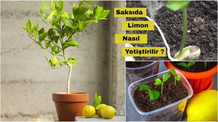 Saksıda Limon Nasıl Yetiştirilir ?