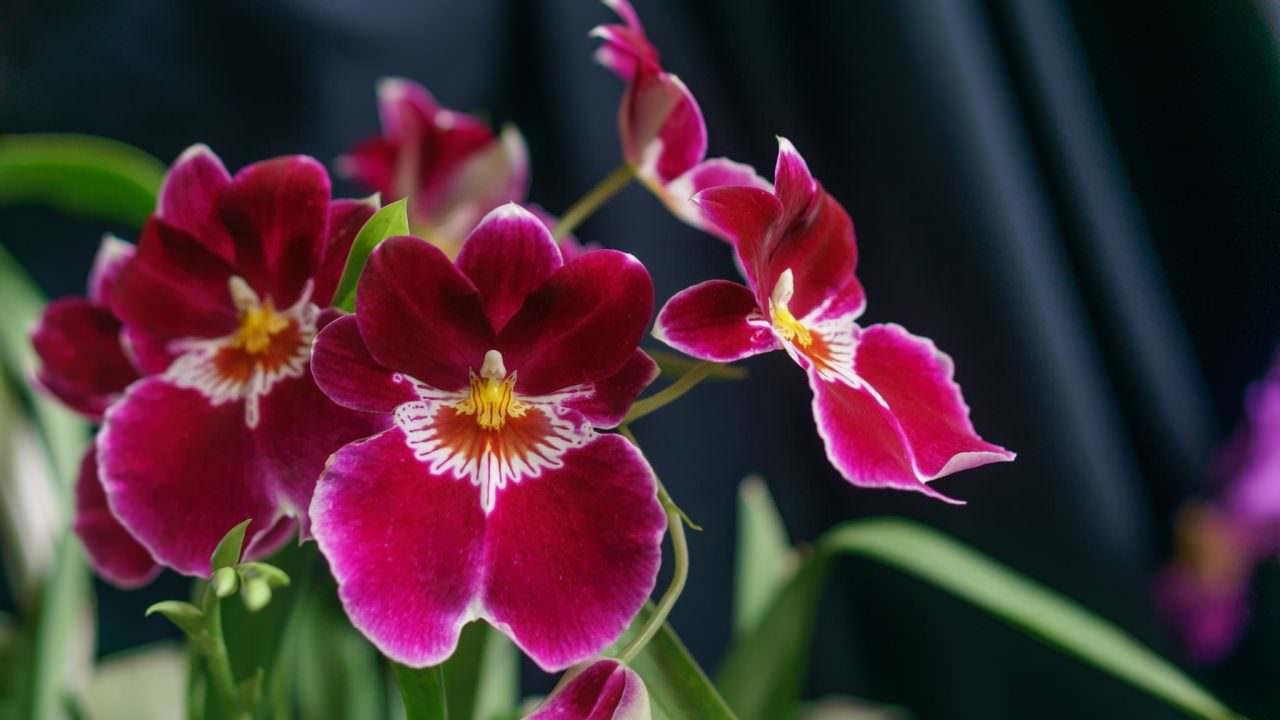 Kömürde Orkide Köklendirme Nasıl Olur?