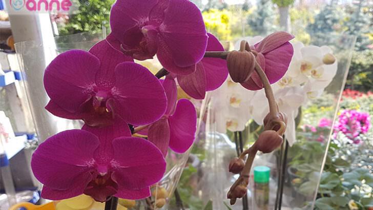 Solmuş ölmüş orkide nasıl canlanır