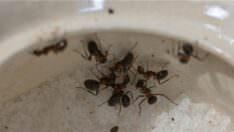 Karıncaları Öldürmeden Kurtulmak Nasıl Olur?