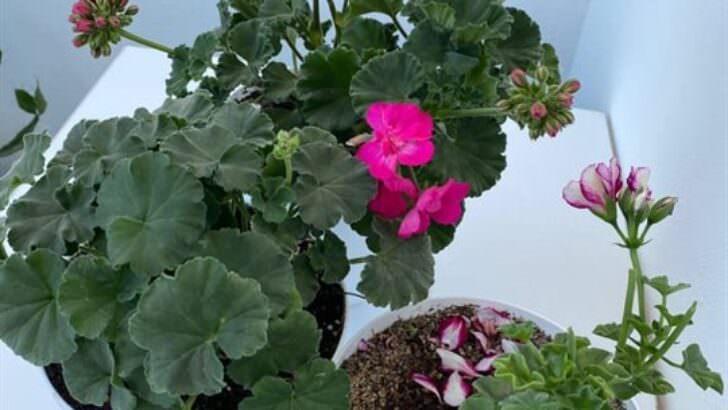 Sardunya çiçeği bakımı çoğaltma nasıl yapılır